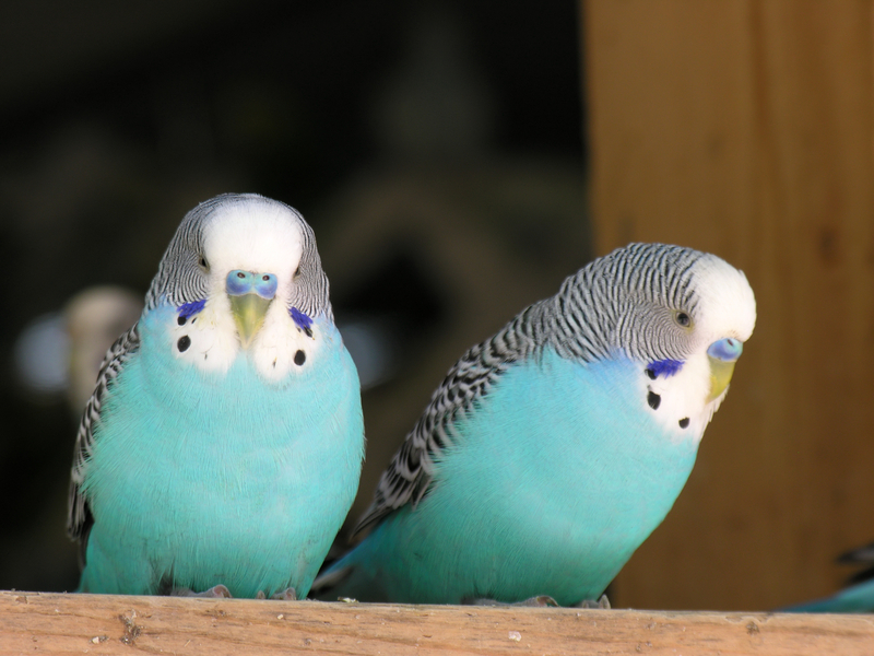 Gallery Healthy Bird Food Supplier For Parrots Parakeets Lovebirds Budgies